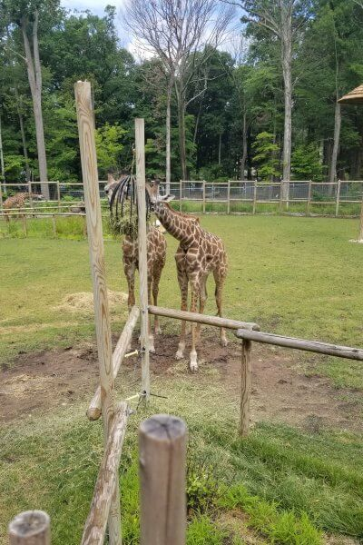 two giraffes eating at turtle back zoo, one of the zoos in nj