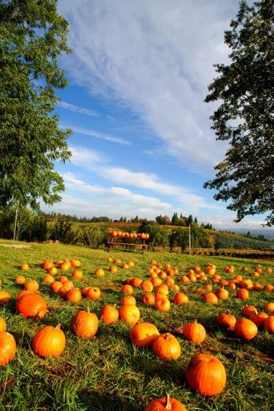 tons of bright orange pumpkins in a new jersey pumpkin patch with blue skies and surrounded by trees.