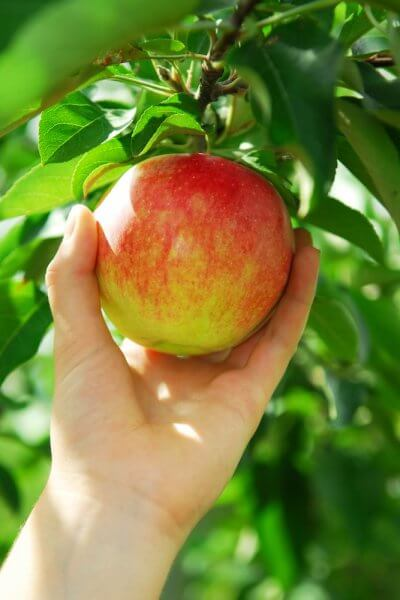 a hand taking a red and yellow apple from a tree while apple picking in NJ