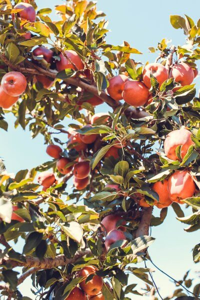 apple tree branches full of fresh apples at an apple orchard