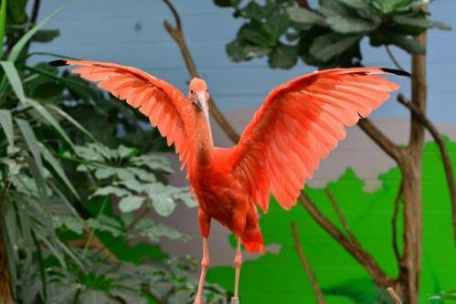 a bright pink scarlet ibis spreading its wings at an NJ zoo