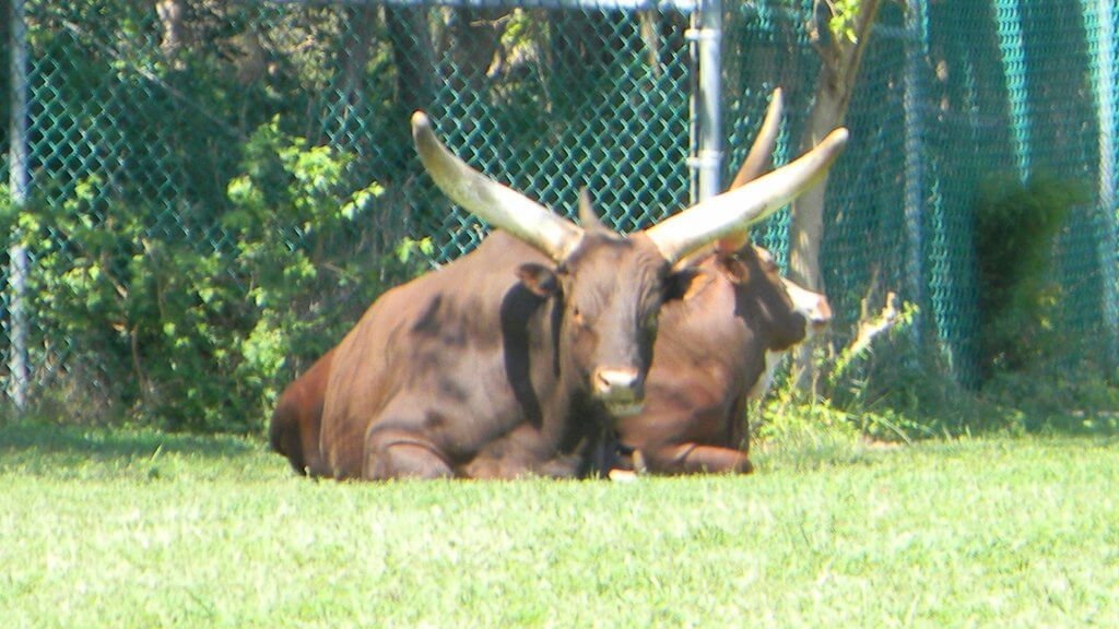 an Ankole Watusi sitting in an enclosure at the zoo in cape may