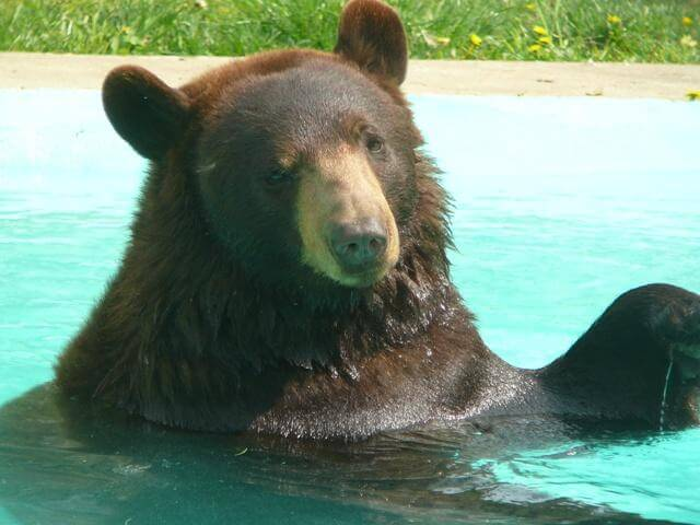 a black bear in a blue pool at the cape may zoo