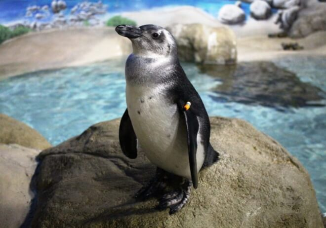 an african penguid standing on a rock in an exhibit
